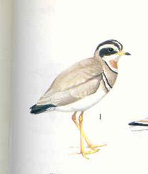Jerdon's Courser - Indian Wildlife Club Ezine - November, 2002 Endemic Species Nicobar Pigeon