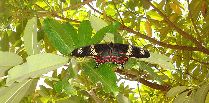 Crimson Rose, a swallowtail butterfly, Hyderabad